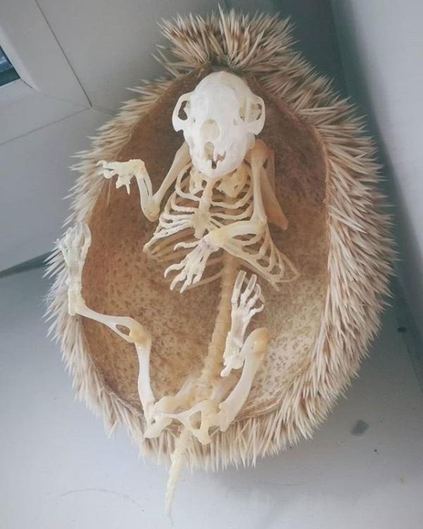 Как выглядит скелет ежа?