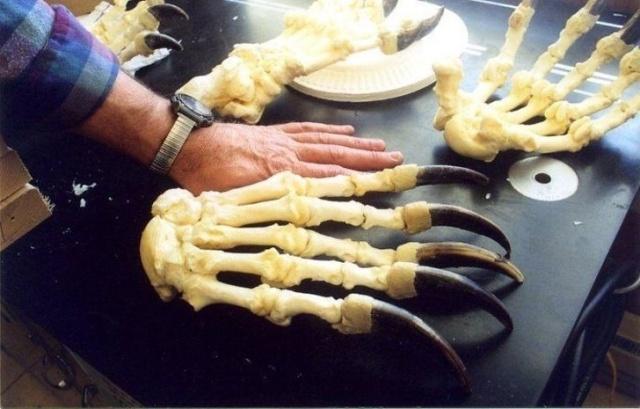 Когти медведя в сравнении с рукой человека
