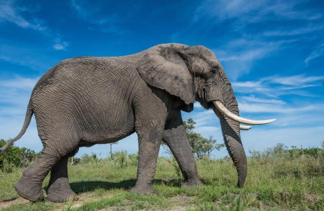 Как устроена слоновья стопа