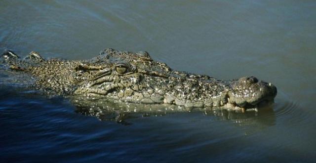 Как выглядит крокодил под водой?