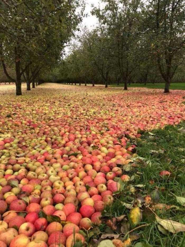 Яблoчный caд пocле уpaгана в Ирлaндии
