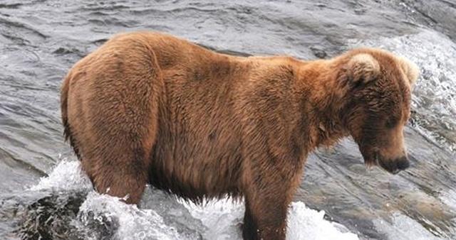 Конкурс на самого толстого медведя в национальном парке