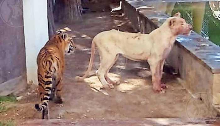 Львица психанула и показала любителю больших кошек, кто на самом деле хозяин в его доме